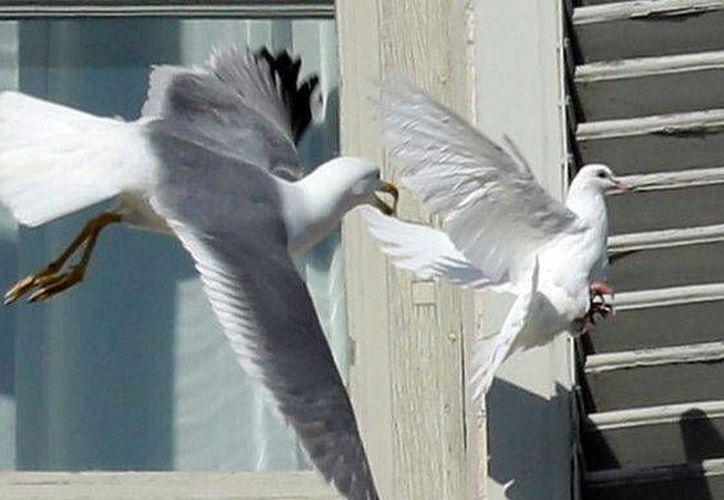 El ataque a las palomas ocurrió ante las miradas de miles de personas que estaban en la plaza de San Pedro. (Agencias)