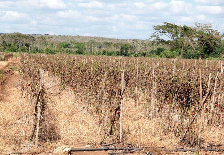 Experto de la Uady considera que la sequía empezó desde febrero. (José Acosta/SIPSE)