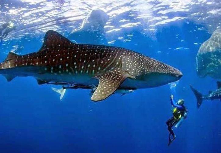 Tiburón ballena llega al Caribe Mexicano y a Cuba. (Foto: SIPSE)