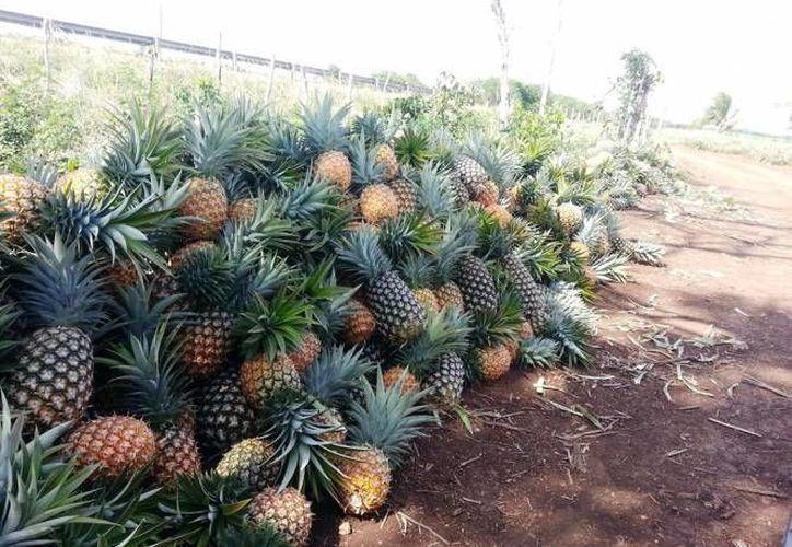 Los productores de piña orgánica de Bacalar se consolidan en la región con el cultivo. (Redacción/SIPSE)