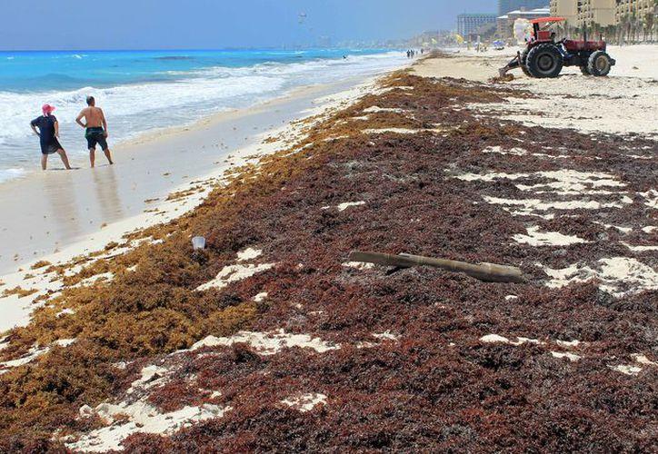 Quieren aprovechar las grandes cantidades de sargazo que recalan en los litorales. (Jesús Tijerina/SIPSE)