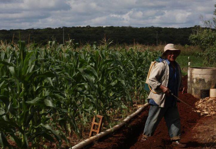 Mejorarán la economía de los hombres del campo. (Luis Soto/SIPSE)