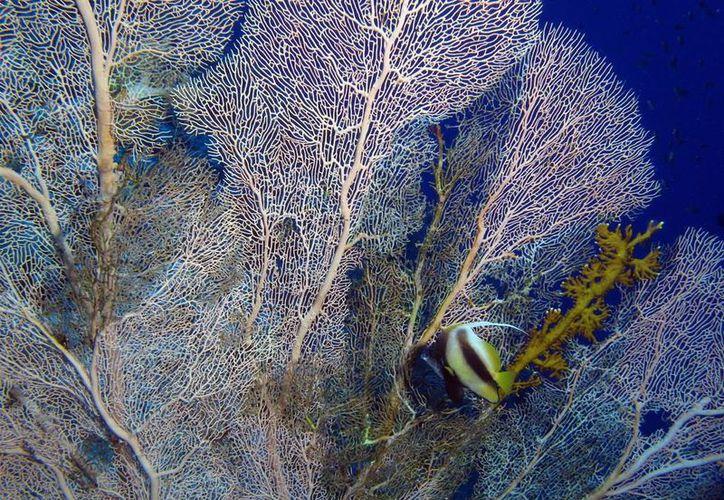 Los corales afectados son susceptibles a morir. (Luis Soto/SIPSE)