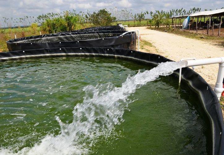 Los productores acuícolas esperan colocar alrededor de 150 toneladas, triplicando lo vendido en años pasados. (Edgardo Rodríguez/SIPSE)