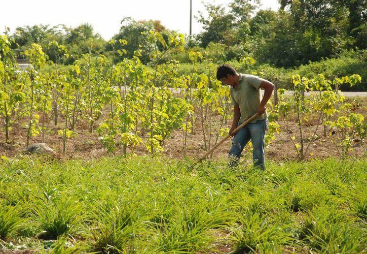 Algunos proyectos presentados por campesinos no proceden por errores en su solicitud.  (Harold Alcocer/SIPSE)