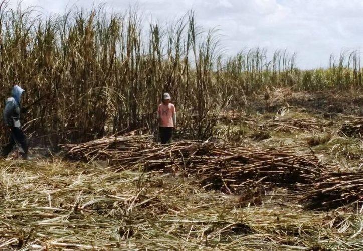 Discuten ampliación del período de la cosecha. (Edgardo Rodríguez/SIPSE)