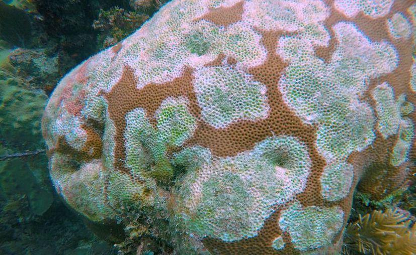 El 'sindrome blanco' acaba con los corales en cuestión de semanas. (Redacción/SIPSE)