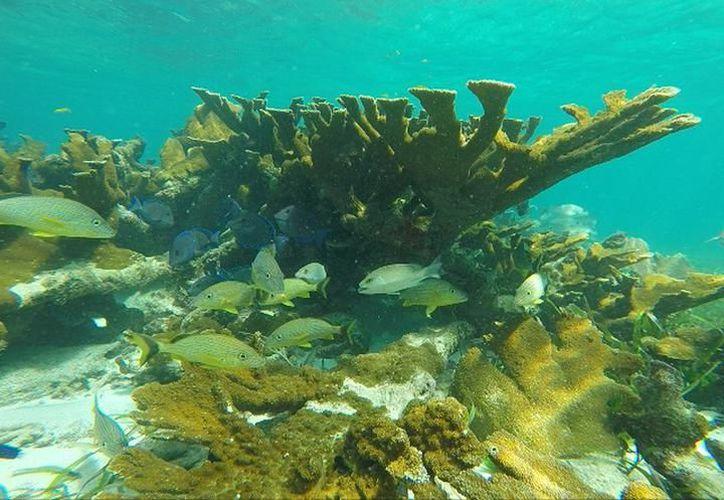 Expertos señalan que debido a la alta tasa de mortandad de los corales es difícil identificar a los vivos. (Archivo/SIPSE)