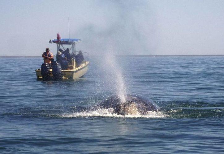 Fotografía del 2 de marzo de 2013, de una ballena gris que nada en las aguas templadas y poco profundas de Guerrero Negro. (EFE)