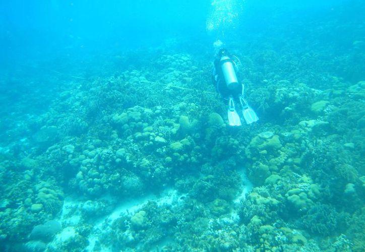 Los arrecifes coralinos son uno de los sistemas más diversos del planeta. (Israel Leal/SIPSE)
