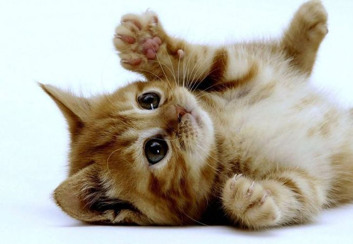Los gatos han demostrado preferir a los humanos sobre juguetes o comida.(Foto: Contexto/Internet)