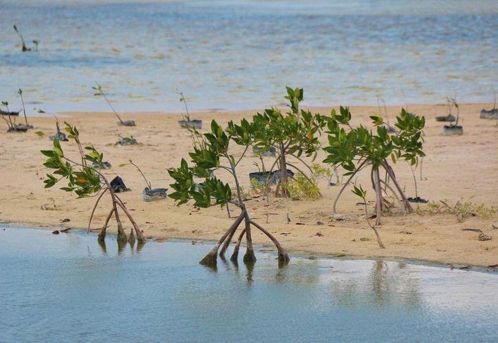 La Conafor financiará la reforestación de mangle en el parque Punta Sur. (Gustavo Villegas/SIPSE)