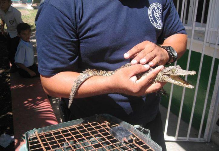 Una cría de cocodrilo fue capturada en el patio de una primaria de Cozumel. (Redacción/SIPSE)