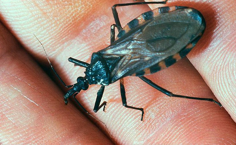 Este es el insecto que porta el parásito causante del mal de Chagas: en Yucatán se le llama 'pic', pero su nombre científico es  Triatoma dimidiata. (Archivo/SIPSE)