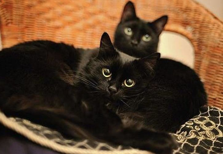El sujeto fue sorprendido cuando se disponía a matar a uno de los simpáticos felinos negros que adoptó en un refugio. (RT)