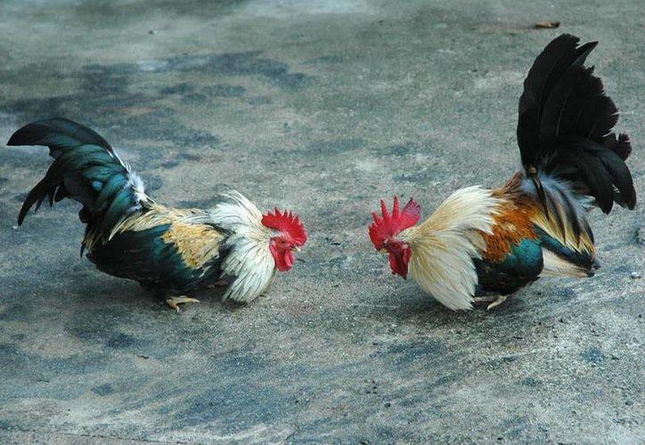Los detenidos en la pelea de gallos clandestina, son de diferentes edades incluidos menores y familias enteras. (Archivo SIPSE)