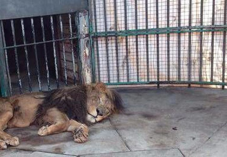 La Profepa mantiene bajo estricta vigilancia al ejemplar de león africano. (Twitter.com/@PROFEPA_Mx)