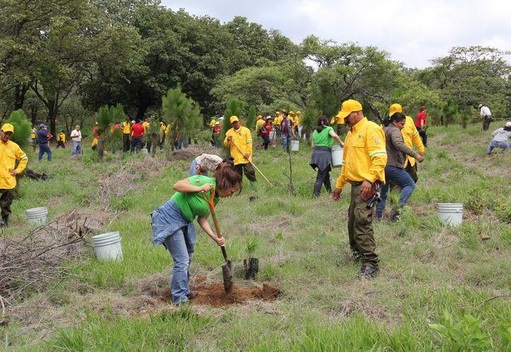 En los programas plantan caoba, cedro, ciricote y ramón. (Carlos Castillo/SIPSE)