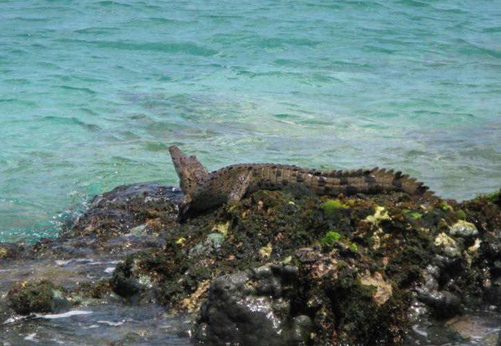 Un cocodrilo, de alrededor de un metro de largo, fue capturado ayer cerca de la playa Caletita. (Redacción/SIPSE)