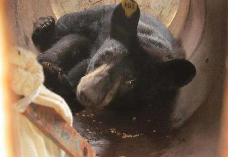 Imagen de un oso que fue liberado en áreas que corresponden al hábitat más idóneo para su especie. Se le colocó un  collar para telemetría satelital para su rastreo y ubicación. (@PROFEPA_Mx)