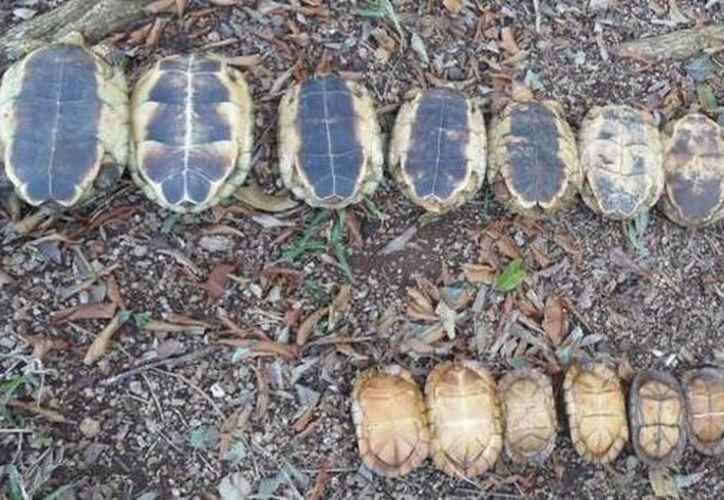 La Profepa aseguró 31 tortugas en un predio residencial de la ciudad de Mérida. (twitter.com)