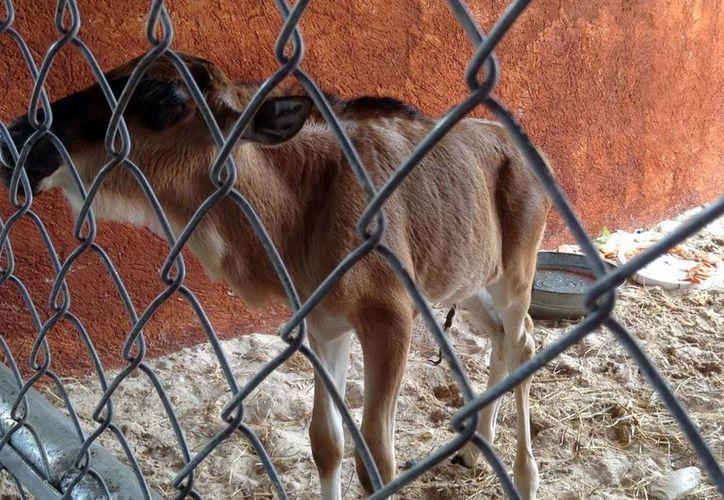 El ñu recién nacido, cuya madre fue muerta por la cebra Pancha en Animaya, fue enviado a un espacio  adecuado. (SIPSE)