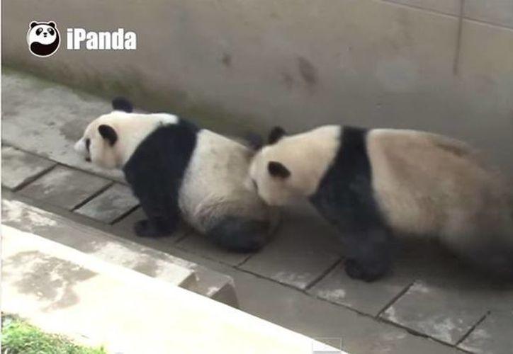La hazaña de Kai Kai y Jia Jia superó a la pareja de pandas gigantes de Lu Lu y Xi Mei. (YouTube)