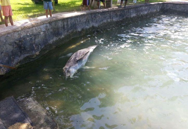 El varamiento del ejemplar delfín nariz de botella, fue reportado en la zona de Oxtanka, en la Bahía de Chetumal. (Redacción/SIPSE)