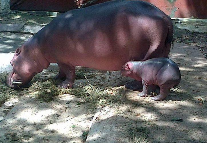 El hipopótamo bebé nació el miércoles 18, en la madrugada. (Martha Chan/SIPSE)