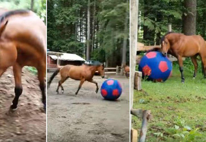 El caballo juega con la pelota inflable con alegría y de manera tierna. (Foto: elcomercio.pe)