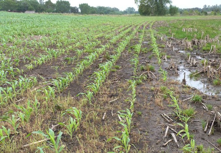 Las plantas se dañan y la humedad trae plagas y para evitar daños, los productores deben revisar sus parcelas constantemente. (Carlos Castillo/SIPSE)