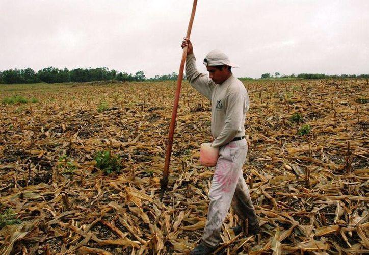 La mayor cantidad de cultivos de temporal se realizan en los municipios de Felipe Carrillo Puerto con 23 mil 200 hectáreas. (Harold Alcocer/ SIPSE)