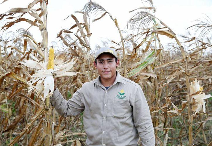 Se puso en marcha la cosecha de maíz en la unidad de producción Paknal Agroindustrias. (Milenio Novedades)