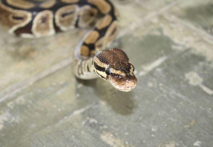 En los municipios del norte se han registrado 11 casos de mordeduras de serpiente en lo que va del año. (Tomás Álvarez/SIPSE)