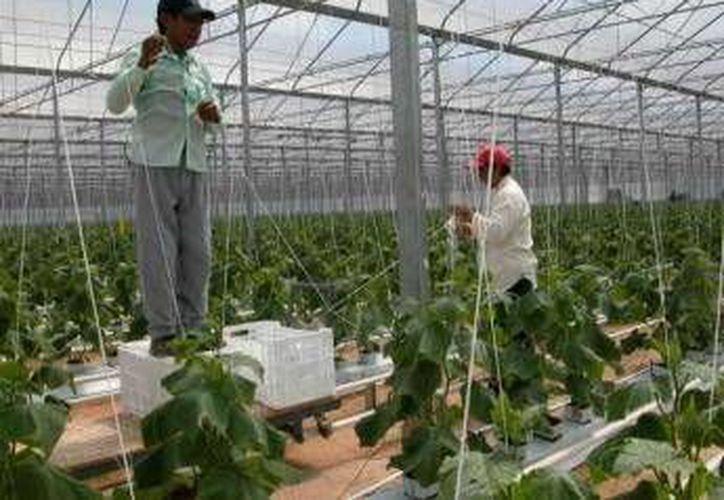 La empresa estadounidense pretende sembrar pepino de exportación. (Archivo/SIPSE)