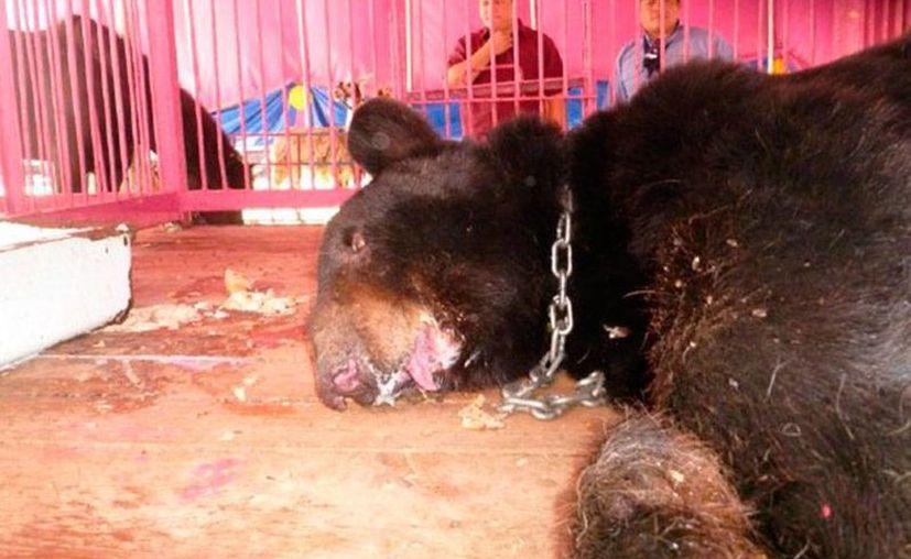 Cada vez son más los lugares que prohíben los espectáculos con animales, más cuando algunos casos se han vuelto virales, como el del oso <i>Invictus</i>, decomisado en Yucatán, y al que le fue arrancada la mandíbula. (excelsior.com.mx)