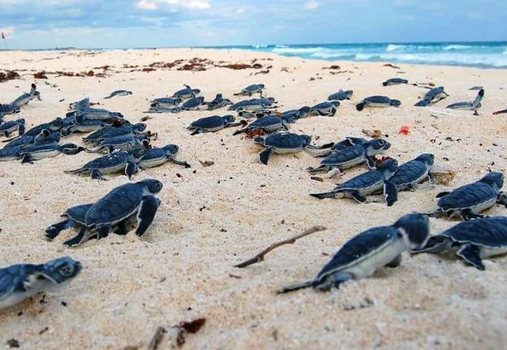 Hasta el momento se han registrado 190 nidos de tortugas marinas en la costa de Cozumel. (Redacción/SIPSE)