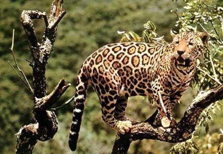 Expertos de Belice, Guatemala y México estudian los caminos por donde transita el jaguar para proteger dicha zona. (Foto de contexto/Internet)