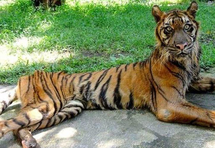 Los activistas intercambian fotos de felinos flacos, osos cubiertos con múltiples abscesos y orangutanes en jaulas diminutas. (change.org)