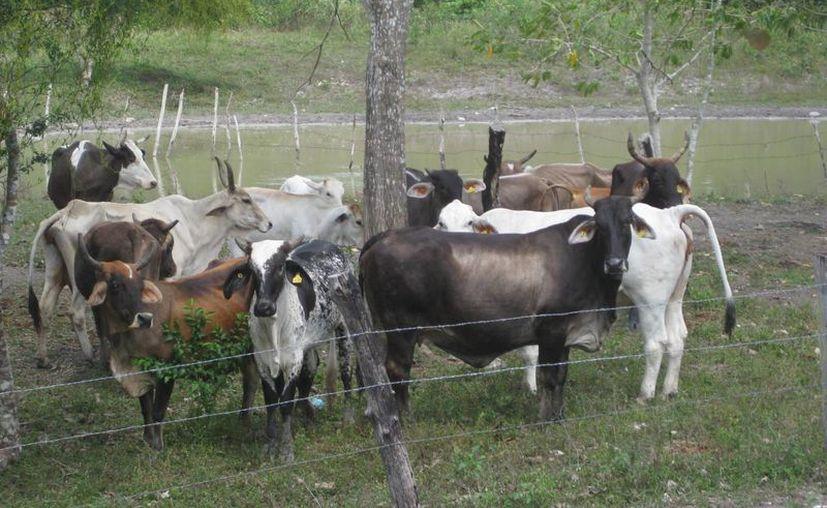 Se han recibido reportes de escasez grave de agua, lo que afecta al ganado quintanarroense. (Ángel Castilla/SIPSE)