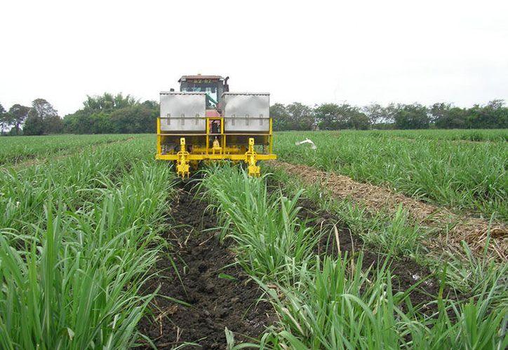 La plaga es difícil de erradicar, por lo que utilizaron un control biológico; sin embargo, ataca año con año a los cultivos. (Carlos Castillo/SIPSE)