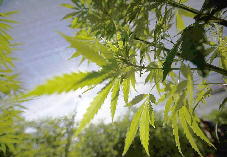 La Corte aprobó el consumo, procesamiento y autoconsumo de marihuana solo para cuatro personas. (Archivo/Notimex)