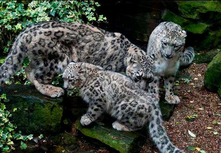 """El leopardo de las nieves tenía una """"familia"""". (Internet)"""