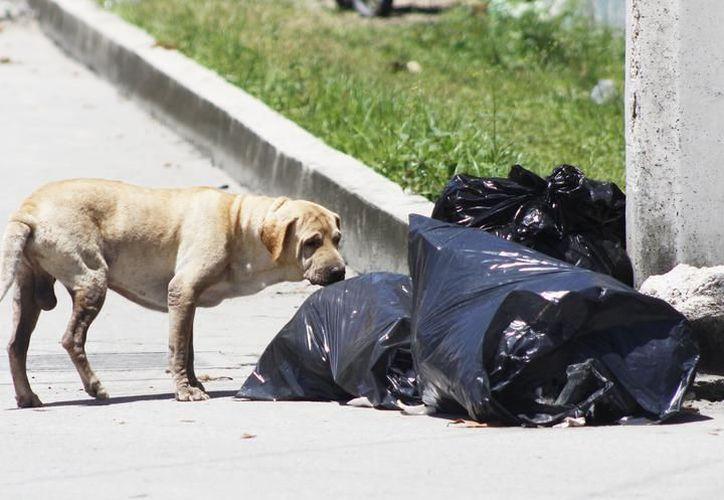 Según datos de los organizadores, una pareja de perros en siete años tendría una descendencia de 50 mil cachorros si no es esterilizada. (SIPSE)