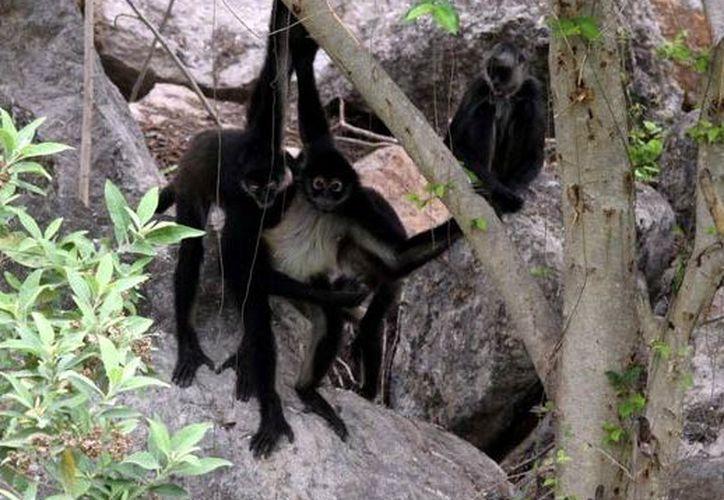 Hay tres crías de mono araña. (Milenio Novedades)