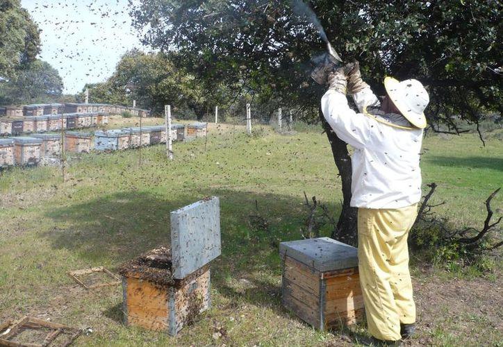 Cada vez cuesta más trabajo realizar buenas cosechas de miel en comunidades de Bacalar.(Carlos Castillo)