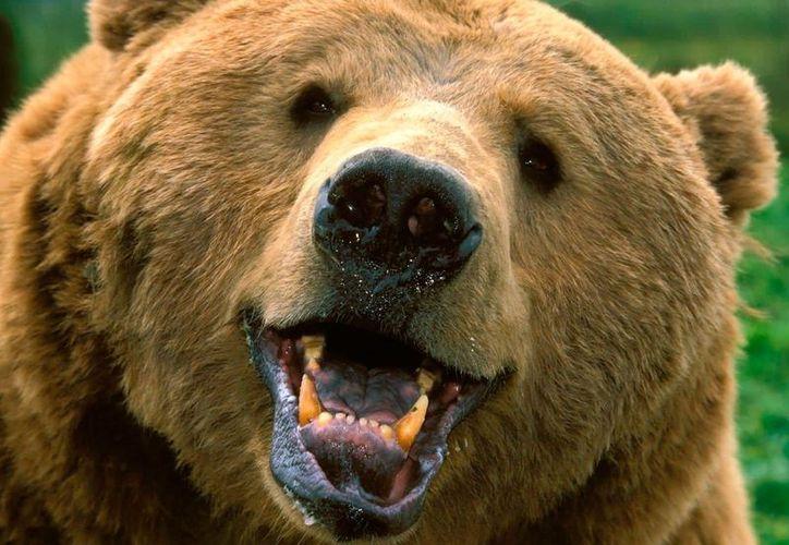 Un oso fue descubierto dentro del jacuzzi de una casa, tomando unas margaritas. (Foto: Contexto)