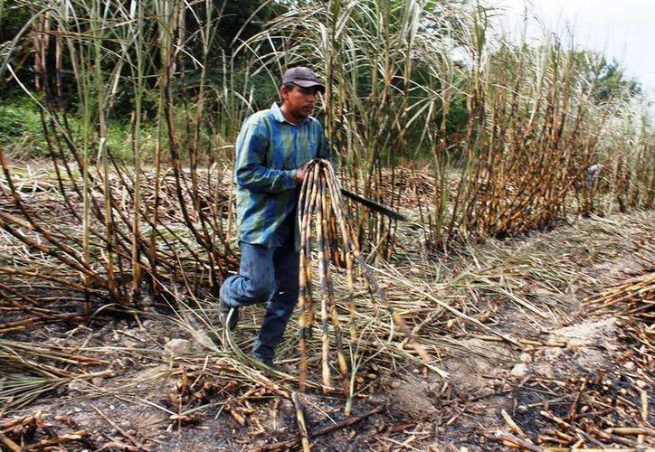Los cortadores de caña cuentan con Seguro Social en Chetumal. (Edgardo Rodríguez/SIPSE)