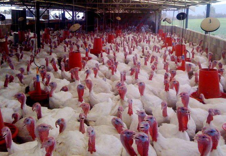 En Yucatán es el primer consumidor de esta ave la República Mexicana, con un 6 por ciento per cápita. Imagen de contexto de una granja de pavos, en el Estado. (Milenio Novedades)