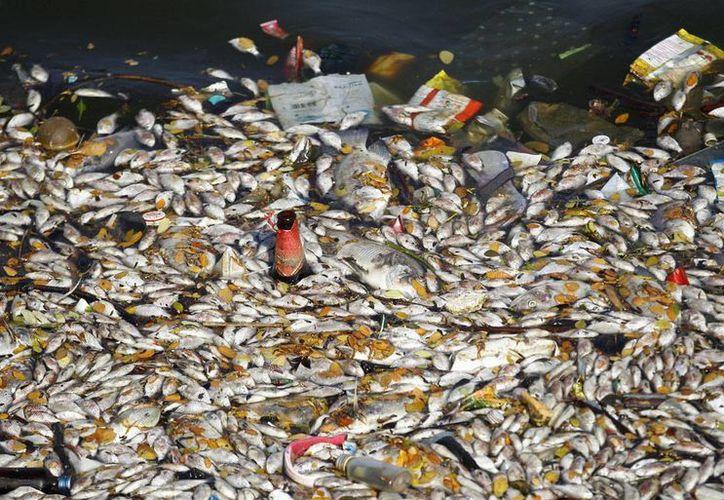 Miles de peces muertos amanecieron hoy flotando en el lago Ulsoor, Bangalore, conocida por sus altos niveles de contaminación. (AP)